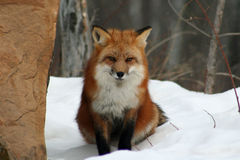 Beautiful Red Fox in the Snow Royalty Free Stock Image