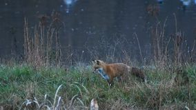 A beautiful Red Fox stalking  prey before Sunrise stock video