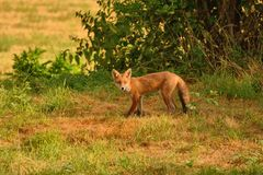 Inqusitive red fox, vulpes vulpes, early morning in a parched field.