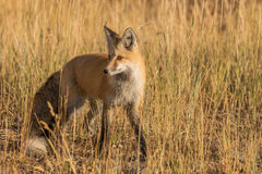 Beautiful Red Fox Stock Images