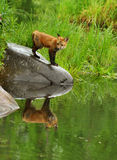 Beautiful red fox and water reflections. Royalty Free Stock Images