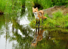 Beautiful red fox and water reflections. Royalty Free Stock Photo