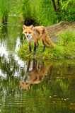 Beautiful red fox and water reflections. Young Red Fox and water reflections royalty free stock image