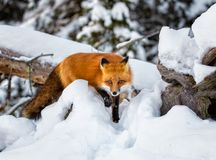 Red fox in the snow steps forward while on a hunt royalty free stock photography