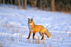 Red Fox in prime winter coat hunting in snowy field on late winter day. Beautiful Red Fox in winter, standing in snowcovered meadow, on a sunny late afternoon royalty free stock photo