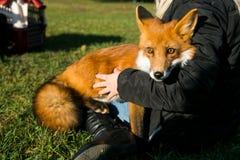 Beautiful red fox royalty free stock photos