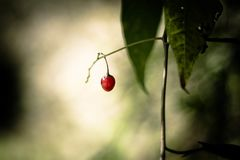 A beautiful red fruit hanging on a leaf. 