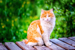 Beautiful red funny hobo cat sitting on rustic wooden background. And green grass, close up royalty free stock photos