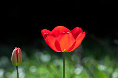 Beautiful red garden flower. Spring blooming tulip opening. Stock Images