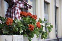 Beautiful red geranium flowers. On window stock photo