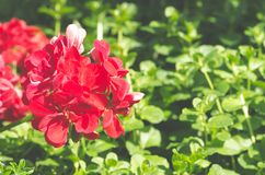 Beautiful red Geranium pelargonium flowers in the garden with soft light and green plants as background, close up.  royalty free stock photo
