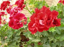 Beautiful red geraniums. A bee flying. stock photography