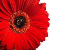 Beautiful red gerber flower part macro Royalty Free Stock Photo