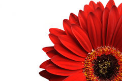 Beautiful red gerber flower part macro shot. Stock Photography