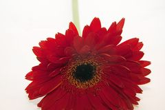 Beautiful red gerber on the white backgraund royalty free stock photos