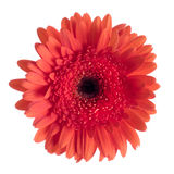 Beautiful red gerbera Stock Photos