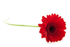 Beautiful red gerbera Stock Images