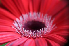 Gerbera / Asteraceae. Beautiful red gerbera Asteraceae, Mutisiodeae. amazing bright colours. home gardening stock photos