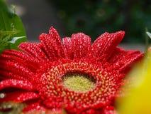 Beautiful red gerbera with glittering water drops.