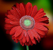 Beautiful red gerbera on multicolor background. Beautiful pink orchids with waterdrops Stock Images