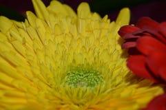 Beautiful gerbera Royalty Free Stock Images