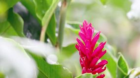 Red Ginger Bloom in the rainforest stock footage