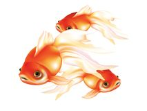 Beautiful red goldfish with white fins. On white background isolated Stock Image
