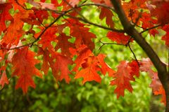 Fall leaves- Vibrant Autumn Colors in park. Beautiful red and green colored fall leaves of deciduous tree in park Royalty Free Stock Images