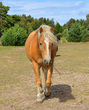 Beautiful red-haired horse Stock Photography