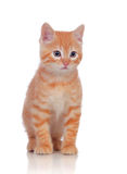 Beautiful red-haired kitten Stock Image