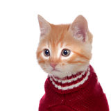 Beautiful red-haired kitten wearing a wool sweater Stock Image