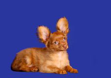 Beautiful red-haired puppy lies on a blue background. Dog with raised ears. Stock Photos