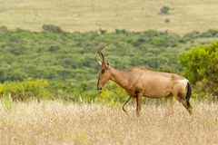 Beautiful red Hartebeest walking through dry grass Stock Images