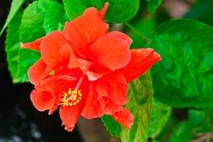 Beautiful Red Hawaiian Hibiscus Flower Royalty Free Stock Photography