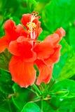 Beautiful red Hawaiian hibiscus flower Stock Photo