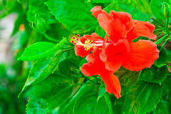Beautiful red Hawaiian hibiscus flower Royalty Free Stock Photography