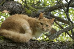 Beautiful red-headed cat with green eyes on a branch. Beautiful red-headed cat with green eyes is sitting on a branch of apple tree. Soft focus with bokeh royalty free stock photo