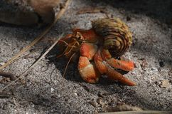 Red hermit crab, side view. Beautiful red hermit crab, macro view Stock Photography