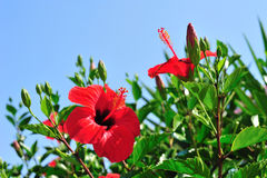 Beautiful red hibiscus Stock Photography