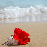 Beautiful red hibiscus flower on the beach Royalty Free Stock Photography
