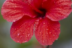 Beautiful red hibiscus flower. With droplets of water Royalty Free Stock Image