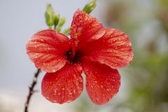 Beautiful red hibiscus flower. With droplets of water Royalty Free Stock Photos