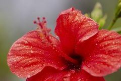 Beautiful red hibiscus flower. With droplets of water Royalty Free Stock Images