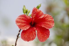 Beautiful red hibiscus flower. With droplets of water Stock Images