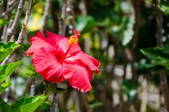 Beautiful red Hibiscus flower at a botanical garden. A Beautiful red Hibiscus flower at a botanical garden royalty free stock image