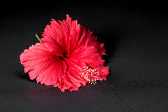 Beautiful red hibiscus flower with dew on black background, clos Royalty Free Stock Photo
