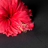 Beautiful red hibiscus flower with dew on black background, clos Stock Photo