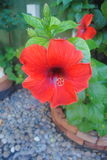 Beautiful red hibiscus flower. On the garden Royalty Free Stock Photo