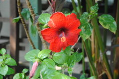 Beautiful red hibiscus flower. In garden Royalty Free Stock Photo