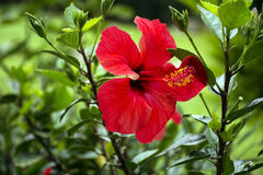 Beautiful red hibiscus  flower in a green garden Stock Image